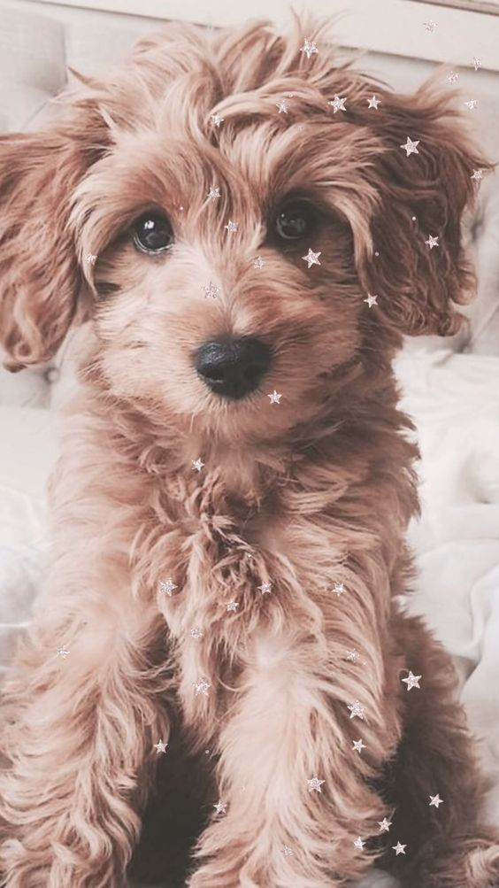 cute puppy wallpaper, cute wallpapers, cute pictures, cute iPhone wallpaper