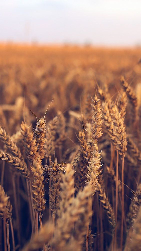 Beautiful nature wallpapers for iPhone - wheat iPhone wallpaper