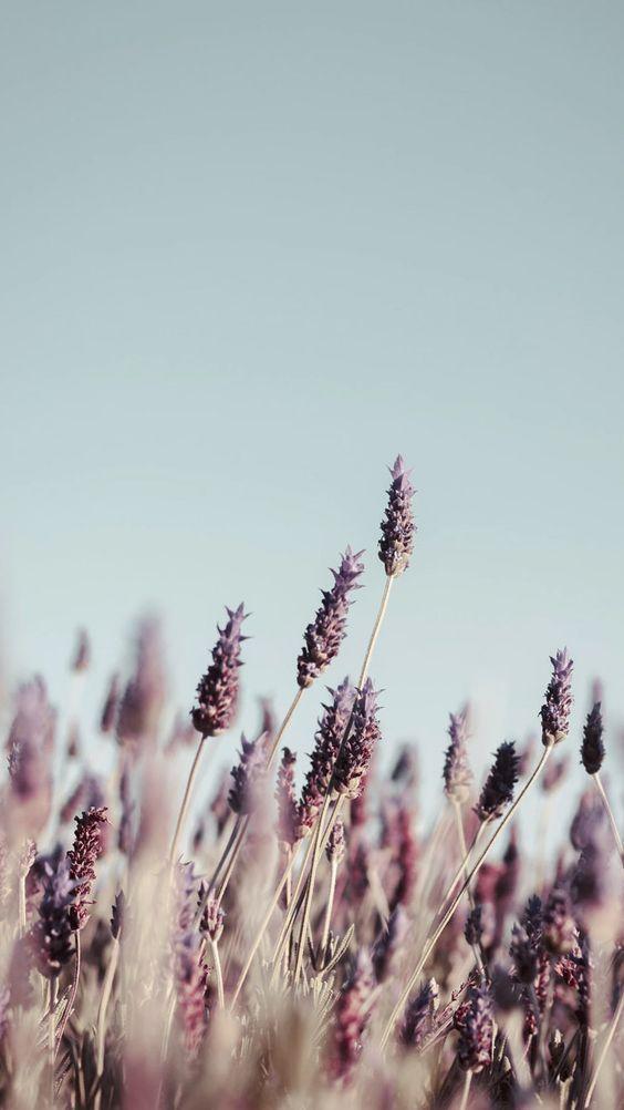 Lavender iPhone wallpaper backgrounds