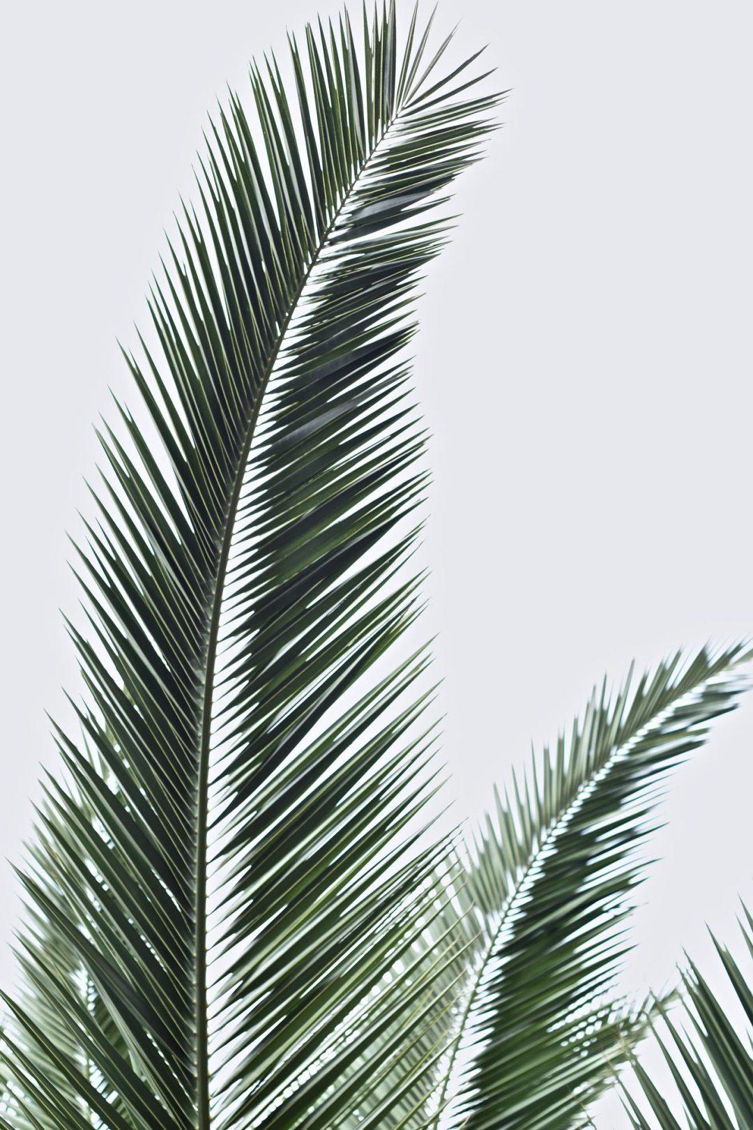 Palm leaf iPhone wallpaper