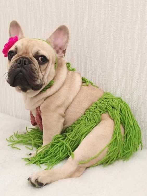 French bulldog costume with Hawaiian girl skirt