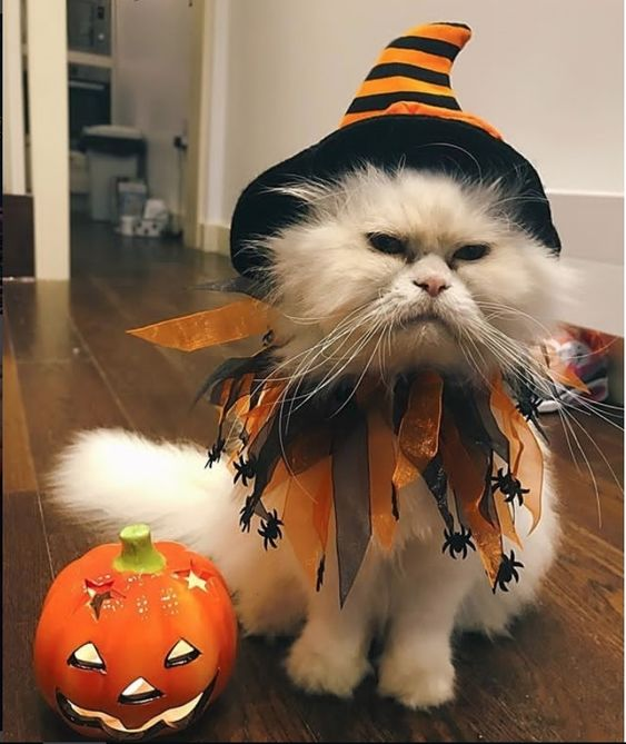 Grumpy Witch Halloween Costume For Cat