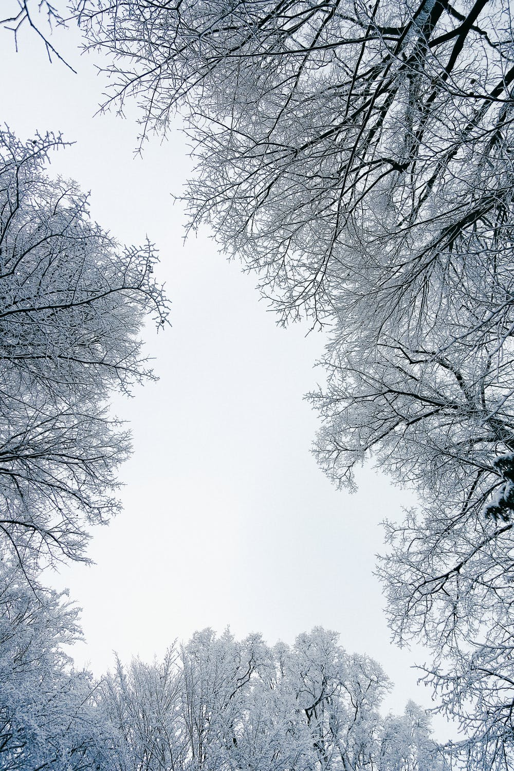 Winter wallpaper with snowy trees