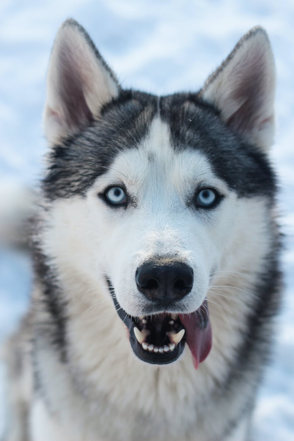 Cute winter wallpaper with dog, husky wallpaper for iphone