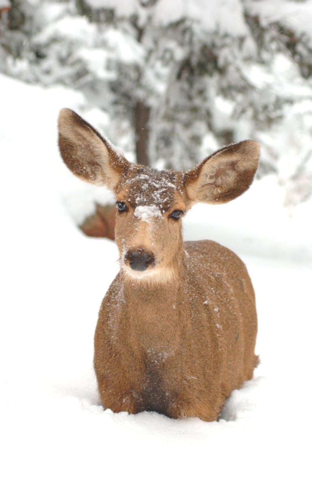 Reindeer wallpaper for iphone, winter wallpaper