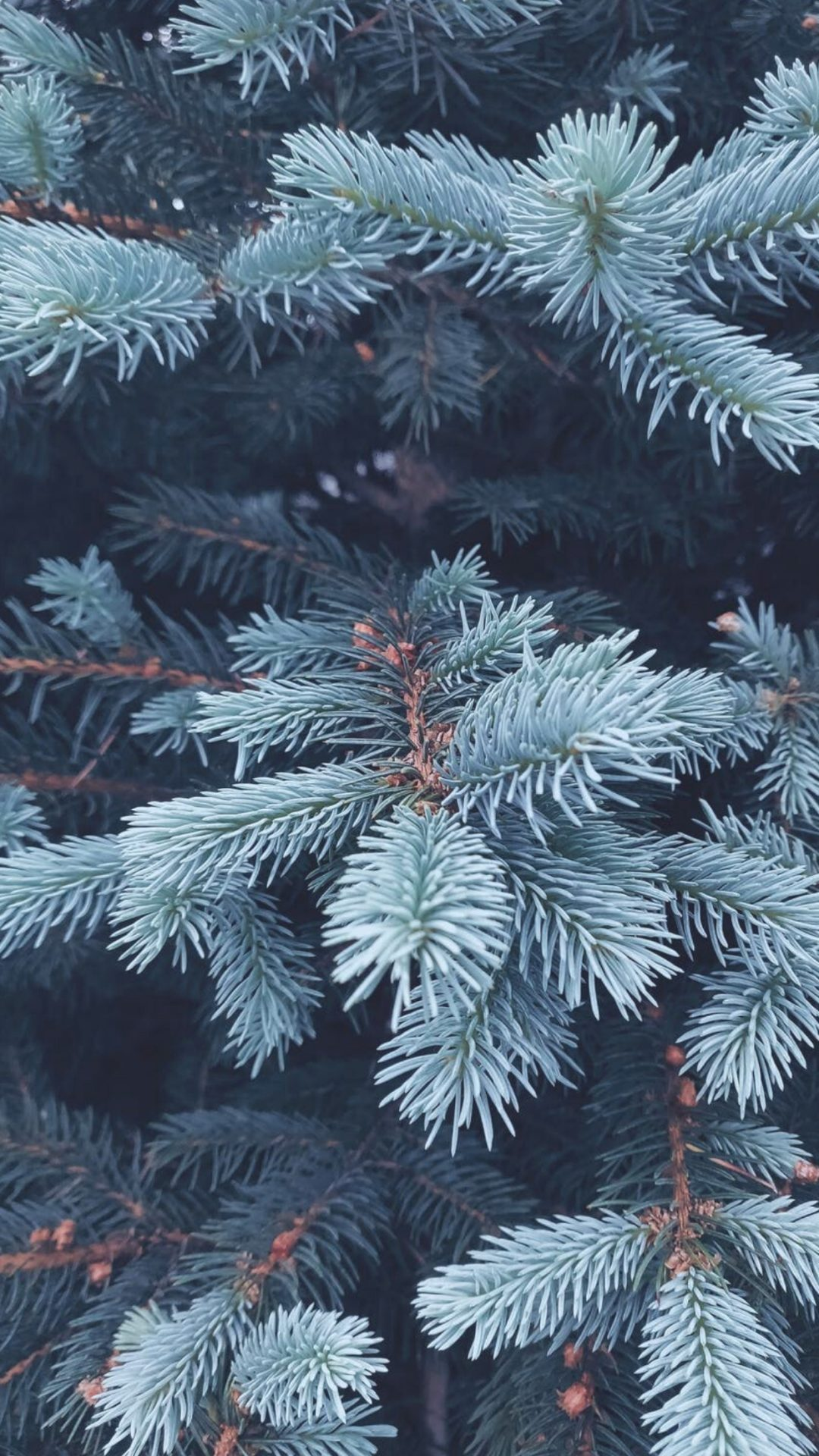 Winter wallpapers with evergreens