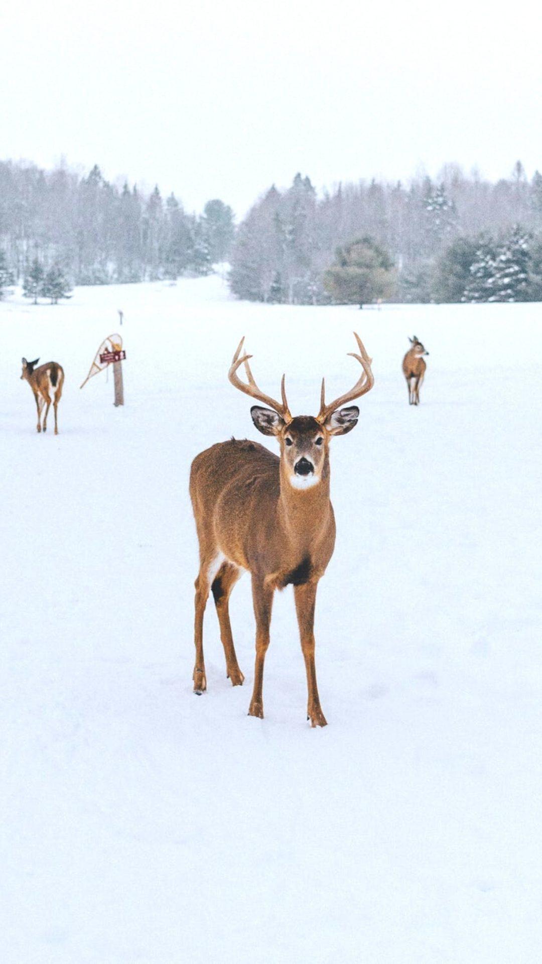 Cute reindeer wallpapers, snowy winter wallpapers