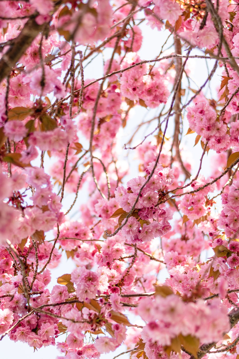 Cherry blossoms iPhone wallpapers