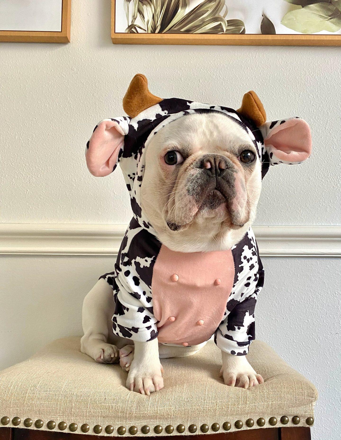 Cute bulldog in cow Halloween dog costume