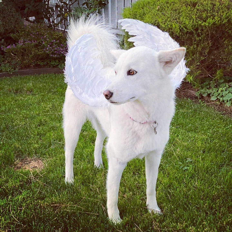 Angel wings dog Halloween costume