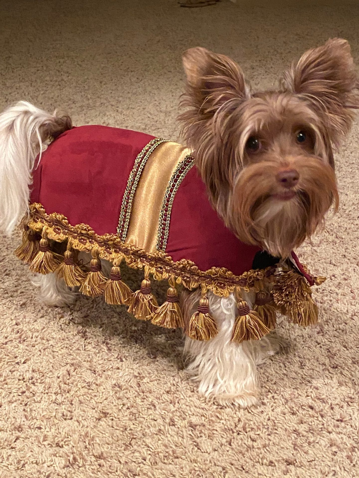 Footstool Halloween costume for small dogs