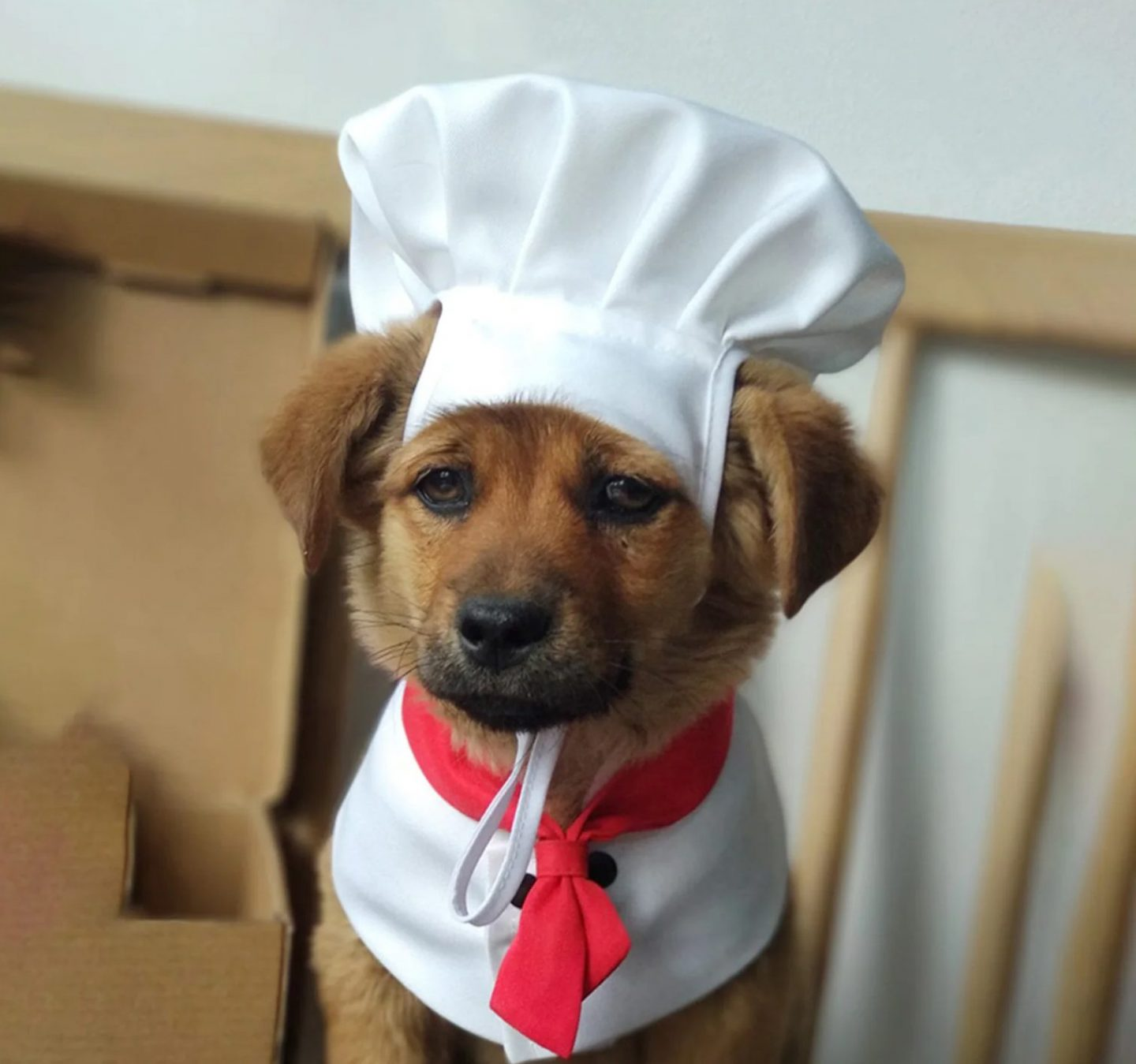 Chef costume for small dogs